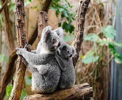 Mother And Baby Koala Bears In A Tree Computer Mouse Pad 9 X 7