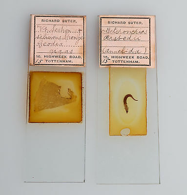 2 Antique RICHARD SUTER MICROSCOPE SLIDES - Heteroneries (Whole) + Geordia Gigas