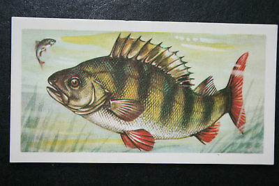 PERCH   Freshwater Fish  Vintage Illustrated Card # VGC / EXC