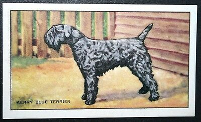 KERRY BLUE TERRIER  Original 1930's Vintage Illustrated Card  # VGC