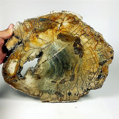 "11.06"" 2429g POLISHED PETRIFIED WOOD FOSSIL AGATE SLICE DISPLAY Madagascar A1072"