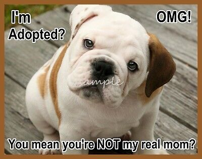 Funny English Bulldog Puppy I'm Adopted? Refrigerator Magnet 3 x 4 inches