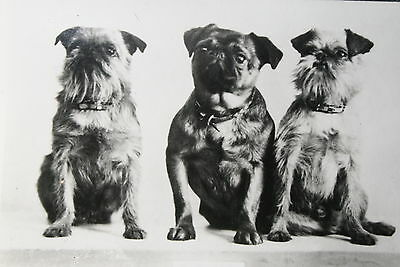Brussels Griffon  Trio   Vintage Photo Card  # VGC