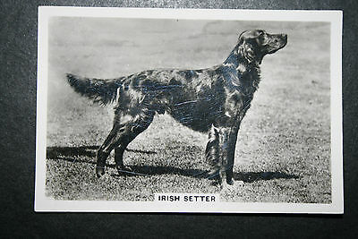 Irish Setter  1930's Original Vintage Photo Card  ## VGC