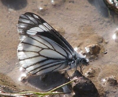 One Real Butterfly Neophasia Terlooii Male Papered Unmounted Wholesale