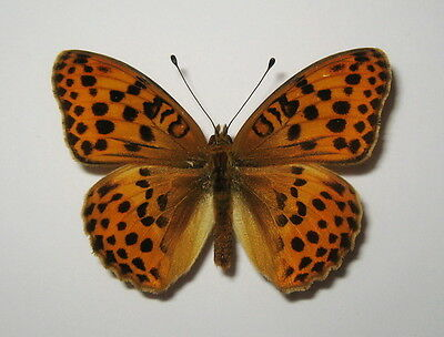 NYMPHALIDAE  ARGYNNIS LAODICAE , MALE from LITHUANIA