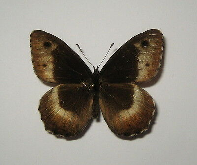 NYMPHALIDAE  HIPPARCHIA HERMIONE,MALE from LITHUANIA