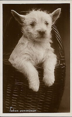 West Highland White Terrier Real Photographic Dog Postcard