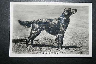 Irish Setter  1930's Original Vintage Photo Card