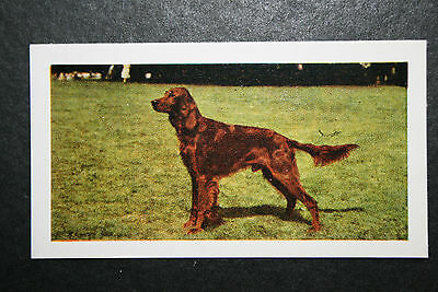 Irish Setter      #   Vintage Colour Photo Card