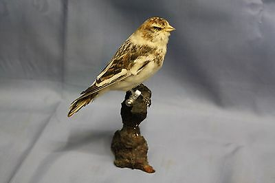 Taxidermy-hunting-chasse-präparat- Snow Bunting with permit