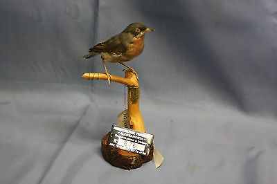 Taxidermy-hunting-chasse-präparat- Moltoni's Warbler with permit