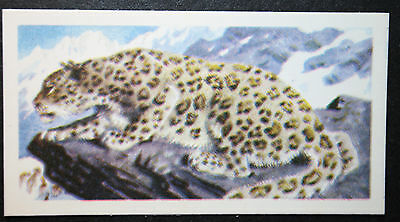 Snow Leopard    Vintage Colour Card  VGC