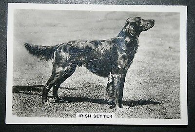 Red Setter  Irish Setter 1930's Original Vintage Photo Card