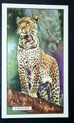 Leopard    Original  1930's Vintage Illustrated Colour Card  VGC