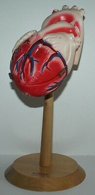 Denoyer Geppert The Heart Of America Anatomical Human Heart Model w/ Stand