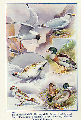 SCOTT RANKING ILLUSTRATION* 1940's *HERRING GULL, PTARMIGAN, MALLARD, SHELLDRAKE