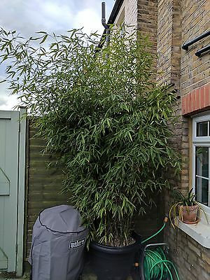 Large Green Bamboo Plant
