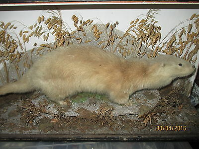TAXIDERMY~Antique Otter