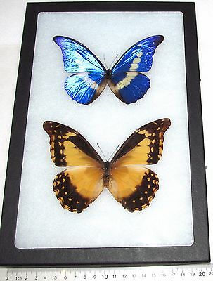 Real Framed Butterfly Blue Peruvian Morpho Helena Pair Male Female Rare Repaired