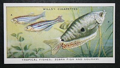 Zebra Fish  &  Gourami  Tropical Fish   Superb Vintage Card  VGC
