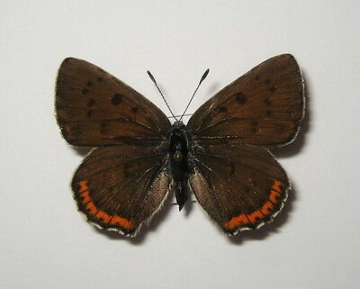 LYCAENIDAE  LYCAENA ALCIPHRON, FEMALE from LITHUANIA