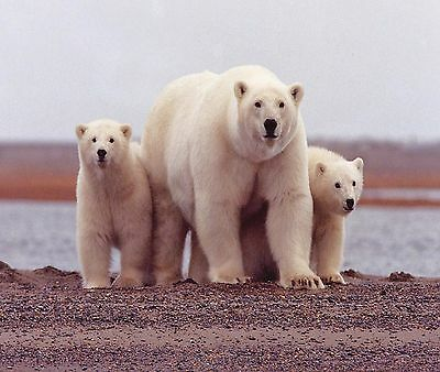POLAR BEARS MOTHER AND CUBS COMPUTER MOUSE PAD  9 x 7