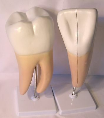 2 giant human teeth tooth anatomical model anatomy dental densist office New