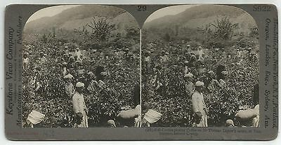 STEREOSCOPIC PHOTOGRAPH-CEYLON. Coolies Picking Coffee on Sir Thomas Liptons.