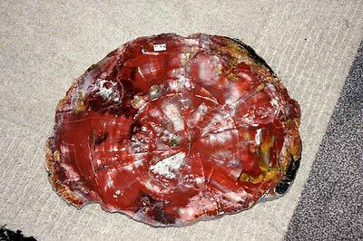 B.J.F. Very Large Polished USA  Petrified Fossil Wood ,  16,  x  13 inches