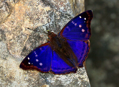 One Real Butterfly Blue Peruvian Doxocopa Agathina Unmounted Wings Closed
