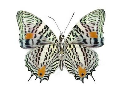 One Real Butterfly Peruvian Baeotus Amazonicus Papered Unmounted Wings Closed