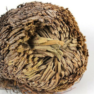 Resurrection Plant Rose Of Jericho Dinosaur Plant Air Fern Spike Moss Fashion