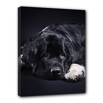 "NEWFOUNDLAND Dog Art Portrait 11""x14"" Wrapped CANVAS PRINT Wall Hang Home Deco"