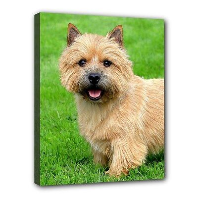 """New NORWICH TERRIER Dog Art Portrait 11""""x14"""" Wrapped CANVAS PRINT Wall Hang Deco"""