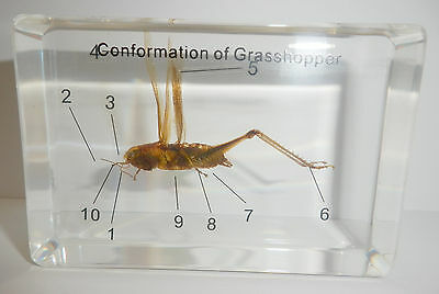 Rice Grasshopper Locust Oxya chinensis 10 parts labeled Clear Education Specimen