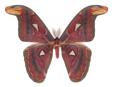 Real Attacus Atlas Moth A1 Quality Unmounted Saturniidae Moth Male Wings Closed