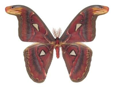 Real Saturn Moth Attacus Atlas Male Saturniidae Indonesia Unmounted Wings Closed