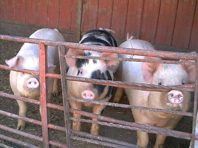 Lets Raise Pigs!65+ Books and Guides On One CD! Care and feeding,Pens,Breed