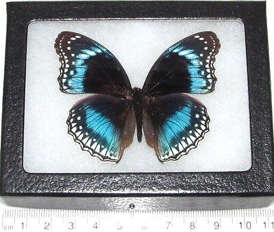Real Framed Butterfly Blue Indonesian Hypolimnas