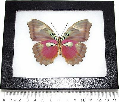 Real Framed Butterfly Pink African Euphaedra Verso