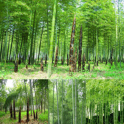 New 100Pcs Seeds Phyllostachys Pubescens Moso-Bamboo Seeds Garden Plants Decor