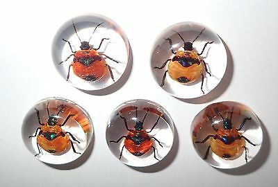 Insect Cabochon Flower Bug Poecilocoris latus 25 mm Round Clear 10 pieces Lot