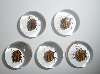 Insect Cabochon Stripe Bug Specimen 25 mm Round Clear 10 pieces Lot