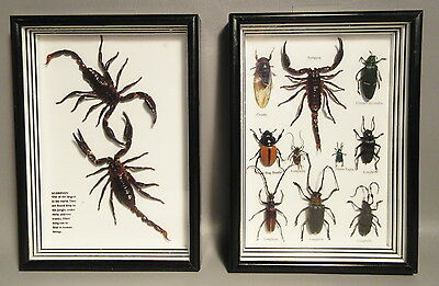 12 Real Insect Entomology 3D Taxidermy In 2 Glass Display Box Scorpions, Beetles