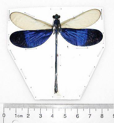 One Real Blue Clear Wings Dragonfly Damselfly Papered Packaged