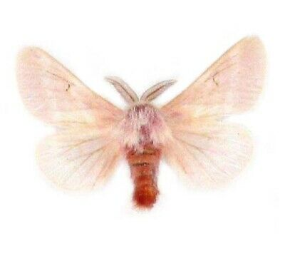 One Arizona Pink Hemileuca Hualapai Unmounted Wings Closed
