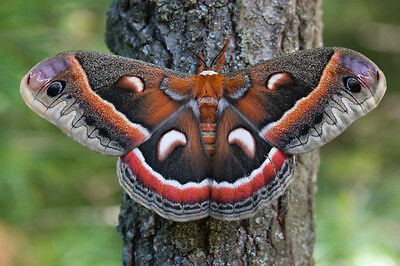 One Real Hyalophora Cecropia Moth Saturniidae Unmounted Wings Closed