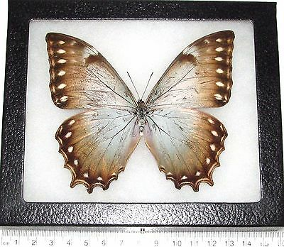 Real Framed Butterfly Morpho Theseus Heraldica Panama