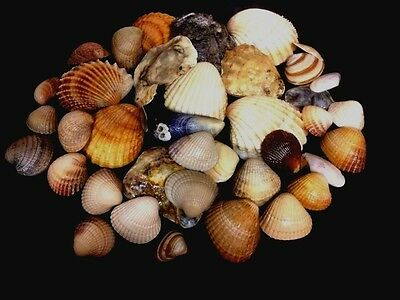 Welsh Mixed Assorted Sea Shells Craft Beach Seashells Aquarium 40 Shells 200g